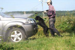 Bilvask med en schnauzerhund som hjælper. Sorte schnauzer hvalpe er er meget nysgerrige og vil gerne være med.